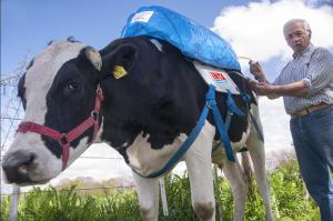 Argentine cow